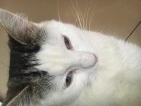 Ojos entrecerrados en gatos, Común europeo