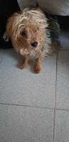 Curvamiento espalda en perros, Yorkshire terrier