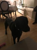Come cosas no alimenticias (Plásticos, calcetines etc.) en perros, Labrador