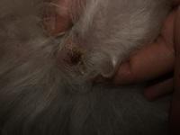 Bulto en la piel en perros, Caniche