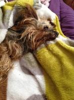 Alteración del apetito en perros, Yorkshire terrier