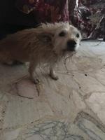 Dolor abdominal o de estómago en perros, Chihuahueño