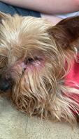 Heces o diarrea muy olorosas en perros, Yorkshire terrier