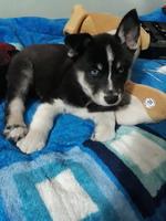 Flemas en perros, Husky siberiano
