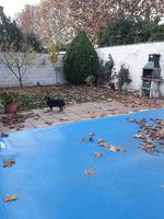 Fiebre en perros, Perdiguero portugués