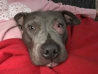 Ojos inflamados en perros, Pit bull