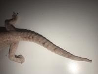 Mal apetito en reptiles, Gecko leopardo