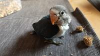Mal apetito en aves, Agapornis fischeri