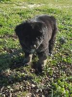 Abdomen inflamado en perros, Samoyedo