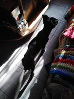 Arcadas en perros, Collie