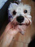 Estornudos en perros, Schnauzer miniatura