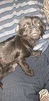 Ansiedad al comer en perros, Ratonero bodeguero andaluz