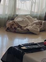 Thor, mi perro cruce de labrador macho, tiene diarrea, respiración ruidosa y dificultad al caminar o levantarse