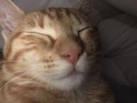 Estornudos en gatos, Americano de pelo corto