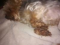Berta, mi perro yorkshire terrier hembra, tiene se chupa las patas