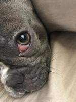 Pepper, mi perro bulldog francés hembra, tiene ojos rojos y párpado enrollado hacia adentro
