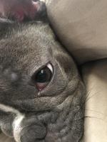 Ojos rojos en perros, Bulldog francés