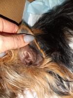 Nana, mi perro yorkshire terrier hembra, tiene mal olor en la oreja y se rasca en los oídos