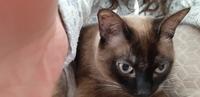 Mucho moco en la nariz en gatos, Siamés
