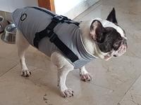 Sangre en orina en perros, Bulldog francés