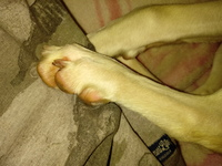 Dolor de pata en perros, Border collie