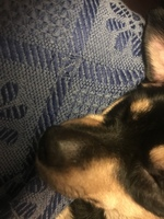 Edema en la piel en perros, Pinscher alemán