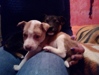 Mal aliento en perros, Pit bull