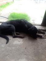 Arcadas en perros, Rottweiler