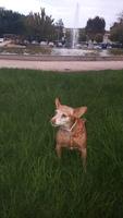 Líquido pastoso por el ano en perros, Podenco ibicenco