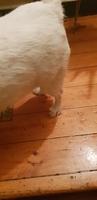 Saki, mi perro desconocida hembra, tiene bulto en la piel