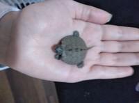 Mal apetito en reptiles, Tortuga de Cumberland