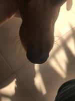 Kai, mi perro cruce de pinscher miniatura macho, tiene inflamación boca