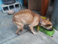 Mal aliento en perros, Chihuahueño