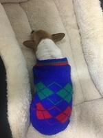 Dificultad al caminar o levantarse en perros, Chihuahueño