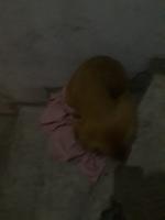 Deshidratación en perros, Golden retriever