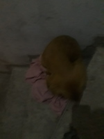 Vómito blanco espumoso en perros, Golden retriever