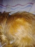 Se chupa las patas en perros, Yorkshire terrier