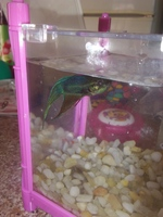 Mauri, mi pez beta macho, tiene mal apetito