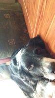 Nina, mi perro pastor alemán hembra, tiene garrapatas y sangrado de nariz