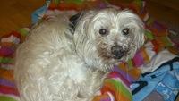 Arcadas en perros, Bichon maltés