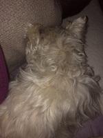 Apatía en perros, Westie