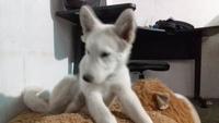 Arcadas en perros, Husky siberiano