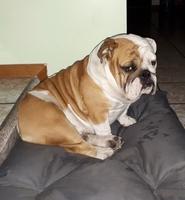 Dolor abdominal o de estómago en perros, Bulldog inglés