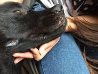 Enrojecimiento de la piel en perros, Labrador