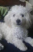 Mal aliento en perros, Perro fino colombiano
