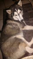 Diarrea amarilla en perros, Husky siberiano