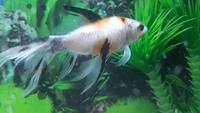 Luppy, mi pez cometa macho, tiene abdomen inflamado y respira con dificultad
