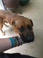 Leoncilló, mi perro alano español macho, tiene pérdida de peso o adelgazamiento, ansiedad al comer y babeo excesivo o espuma blanca por la boca