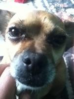 Secreción ocular en perros, Chihuahueño