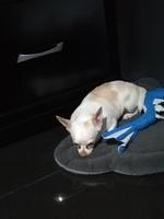 Abdomen inflamado en perros, Chihuahueño
